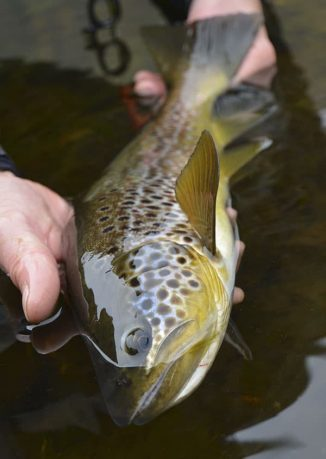 browntrout-alta-river-go-fishing